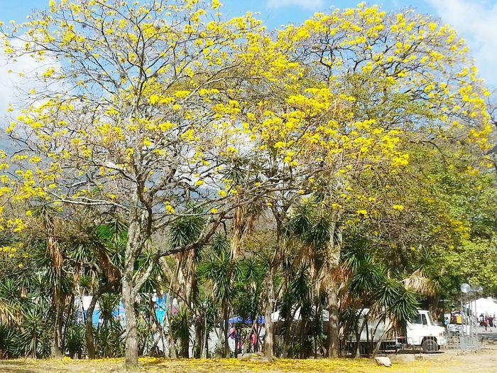 Araguaney Trees