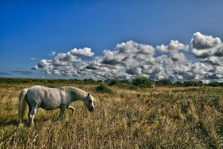 Animal Themes Beauty In Nature Cloud Cloud - Sky Day Domestic Animals Domestic Cattle Field Grass Grassy Grazing Herbivorous Horizon Over Land Horse Landscape Livestock Mammal Nature No People Outdoors Pasture Rural Scene Scenics Sky Tranquility