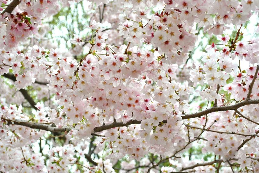 Backgrounds Beauty In Nature Blossom Branch Cherry Tree Day Flower Flower Head Freshness Growth Low Angle View Nature No People Orchard Outdoors Pink Color Sakura Blossom Springtime Tree White Color