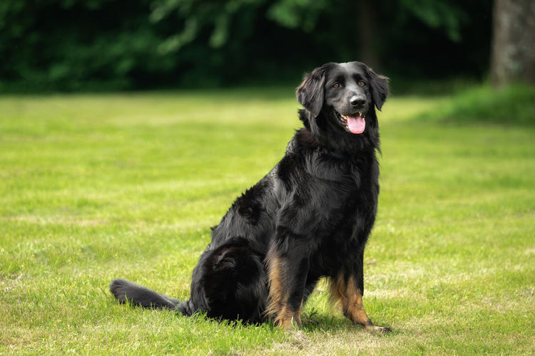 A black hovawart outdoors in nature Animal Black Breed Dog Domestic Family Friend Friendship Fur Grass Green Happy Hovawart Mammal Natural Obedient Obedient Dog Outdoor Park Pet Playful Portrait Purebred