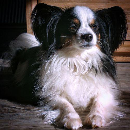 Dog Dog Love Dogs Of EyeEm Dog❤ Dog Portrait Dog Photography Papillion Animal Dog Head Dog Sun Dog Sunbathing