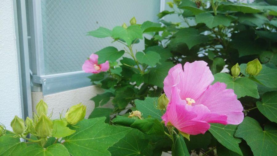 ชบาหน้าหอ Dorm1 Room815 ItoCampus KyushuUniversity