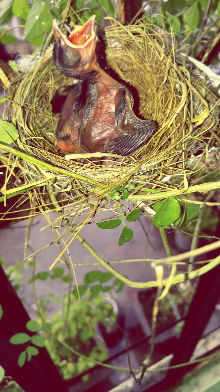 bird nest, animal themes, animals in the wild, no people, young bird, close-up, high angle view, nature, day, young animal, new life, outdoors, bird, leaf, fragility