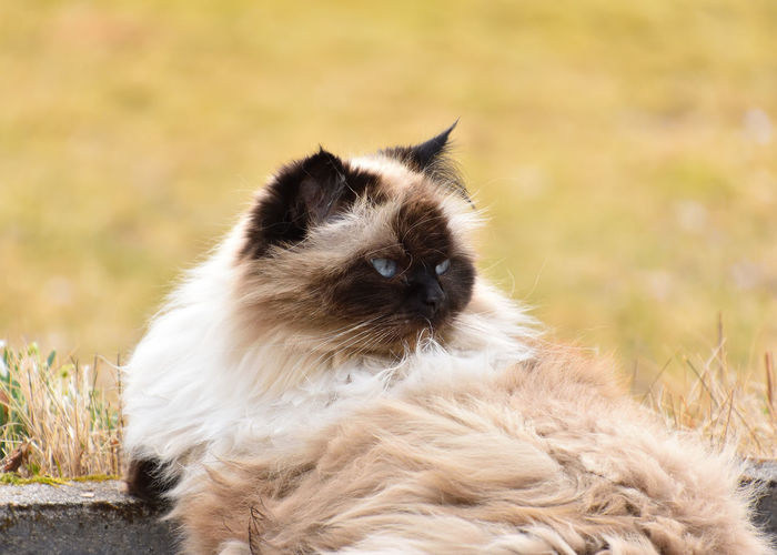 BlueEyes Mycat♥ Focus On Foreground Green Color Animal Eye Cat Animal Ear Animal Head  Animal Nose Nose Eye