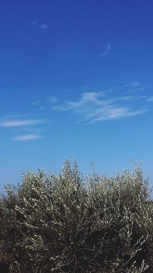 Olive Tree Olive Tree Blue Sky Trees And Sky Nature Photography