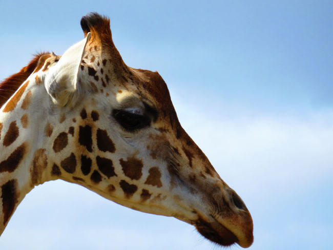 Animal Body Part Animal Head  Animal Markings Beauty In Nature Bird Of Prey Blue Close-up Day Focus On Foreground Giraffe Low Angle View Natural Pattern Nature No People Outdoors Part Of Sky Wildlands  Zoo