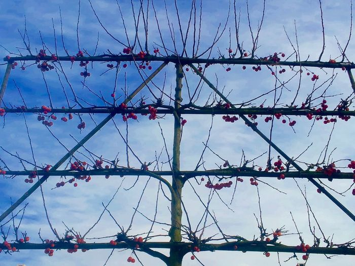 Apple Trees  Apples Art Of Garden Bare Tree Branch Environmental Conservation Full Frame Garden In Versailles Litte Apples Malus Perpetu Evereste No People Pommier Evereste Pommiers Red Apples Selective Focus Winter EyeEm Nature Lover