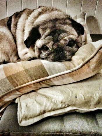 Pug Pugs Pug Life ❤ Dog Pets Pets Petlover Cushion Pets Corner