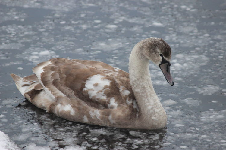 Beautiful Frozen Animal Themes Animal Wildlife Animals In The Wild Beak Beauty In Nature Bird Close-up Day Lake Nature No People One Animal Outdoors Swan Water