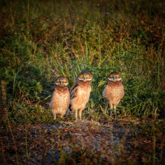 Burrowing Owls In A Row The Great Outdoors - 2016 EyeEm Awards No People Nature Florida Burrowing Owl Nest Soil Grass Animal Themes Ground Owl Bird United States Curious Sunlight And Shadow Cropped Outdoors Animals Three Animals Selective Focus Birds Owls Dirt