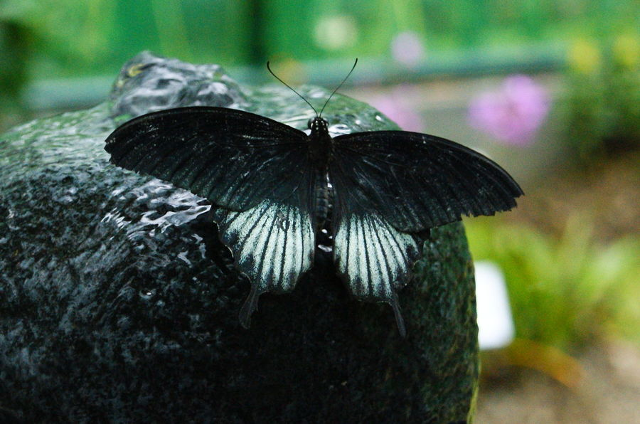 Black Butterfly Animal Antenna Animal Markings Animal Themes Animal Wing Beauty In Nature Black Butterfly Black Color Butterfly Butterfly - Insect Close-up Day Focus On Foreground Insect Natural Pattern Nature Nature No People Outdoors Selective Focus Wildlife