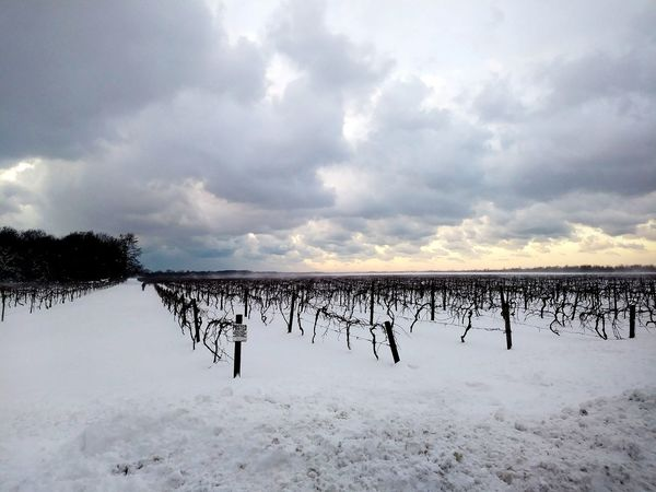Outdoors Day No People Nature Animal Wildlife Sky Landscape Sunset Bird Beauty In Nature Snow Wind Snowy Days... Snowy Trees Grapes 🍇 Grapes Nature Photography Grape Vine Grapes On The Vine Grapes🍇 Grapeyard Grapevines