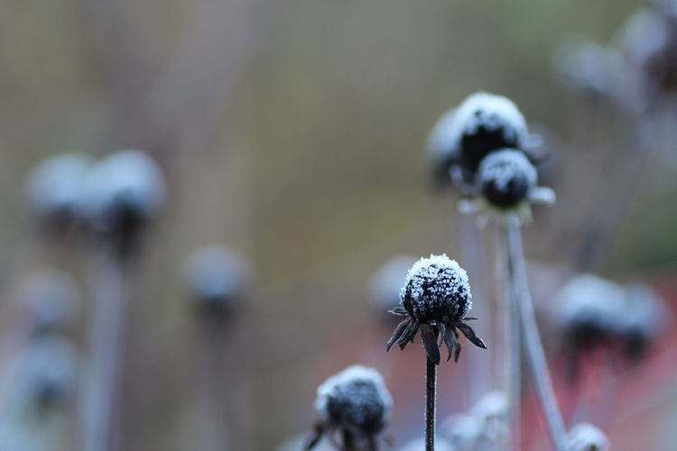 Froozen garden Humanity Meets Technology Flower Flowering Plant Plant Focus On Foreground Freshness Close-up Vulnerability  Fragility Growth Nature Beauty In Nature Day No People Selective Focus Plant Stem Outdoors Flower Head White Color Tranquility Beginnings Softness Wilted Plant