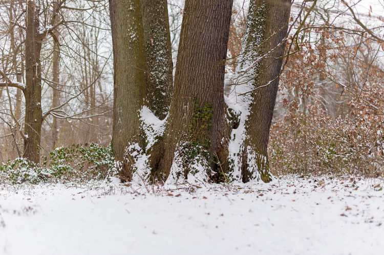 snow tree Snow Tree Land Plant Winter Cold Temperature Forest Tree Trunk Trunk Beauty In Nature Nature Tranquility Non-urban Scene No People Day Scenics - Nature White Color WoodLand Tranquil Scene Outdoors Cold Coniferous Tree Pine Tree Pine Woodland Snowing