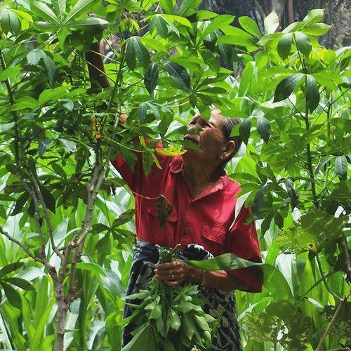 bikin daun ubi tumbuk kita ya pung... Petani Farmer KedaulatanPangan Foodsovereignty sayuran diladang humaninterest portrait potret oppung