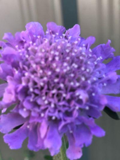 Flowering Plant Flower Freshness Vulnerability  Plant Fragility Purple