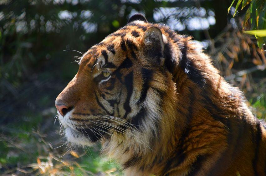 Tiger Zoo Blijdorp Rotterdam Majestic Sunny Resting