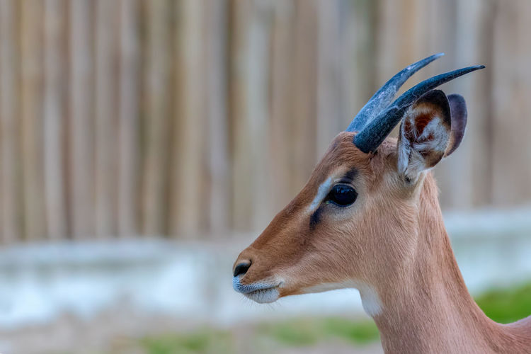 Animal Themes Animal One Animal Focus On Foreground Animal Wildlife Mammal Animals In The Wild Vertebrate Close-up Animal Body Part Brown No People Deer Day Animal Head  Domestic Animals Looking Herbivorous Side View Profile View