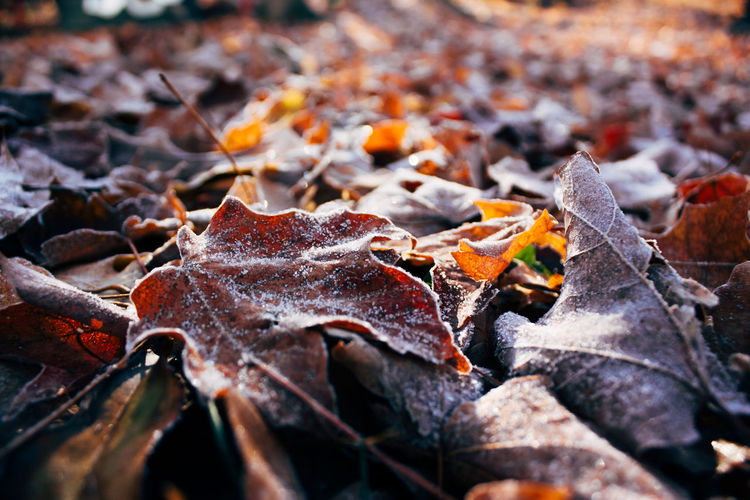 Autumn Beauty In Nature Change Close-up Day Dry Fallen Fragility Frost Leaf Leaves Maple Maple Leaf Nature No People Outdoors Selective Focus