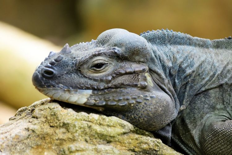 Wildlife and forestry Animal Animal Body Part Animal Head  Animal Scale Animal Themes Animal Wildlife Animals In The Wild Close-up Day Focus On Foreground Iguana Lizard Marine Nature No People One Animal Profile View Reptile Rock Rock - Object Solid Vertebrate