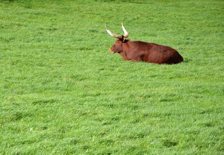 Beef Bull Farm Life Grass Green Isolated Animal Themes Bovine Brwon Cattle Close-up Dairy Day Farming Field Grass Green Color Hoofed Mammal Laying Down Mammal Nature No People One Animal Outdoors Resting