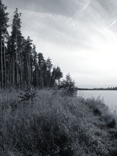 Nature Photography Nature Scenes Black & White Black And White Nature Trees And Sky Monochrome Nature Russian Nature Pine Forest Pine Trees Trees And Water Trees And Plants