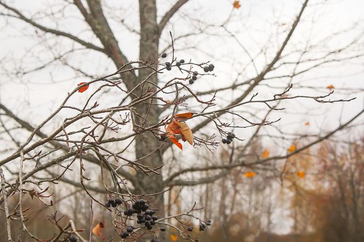 Bare maple tree
