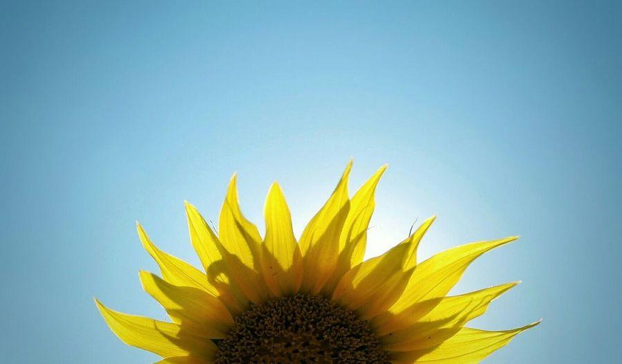 Sunflower Sun Sky Nature Photo