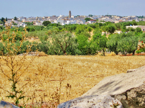 View of Casalini, countryside with olive trees in Puglia, Italy Casalini Cisternino Italia Olive Tree Ostuni Puglia Agriculture Architecture Beauty In Nature Built Structure Countryside Day Field Grass Growth Italy Landscape Nature No People Outdoors Plant Scenics Tree Valle D'itria Wild Nature