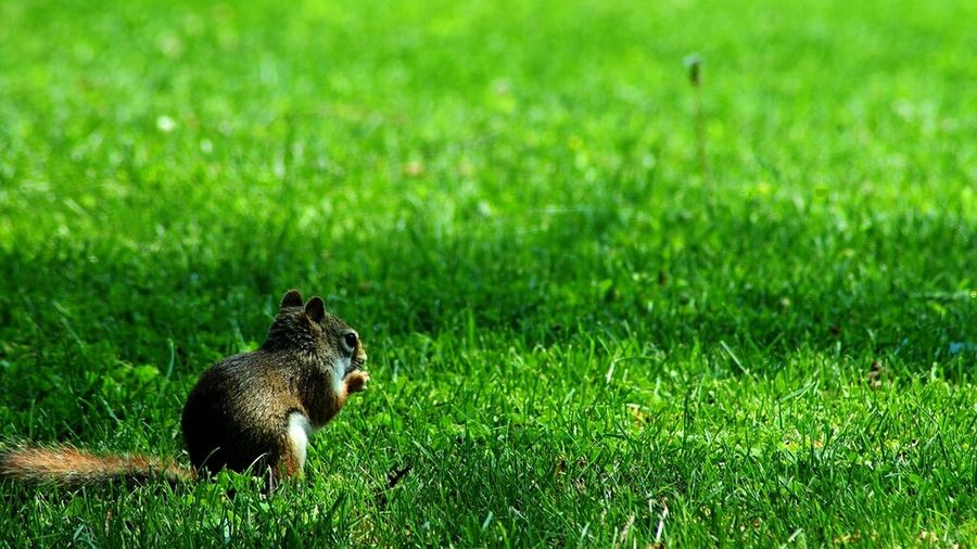 Red Squirrel Grass Nature Outdoors Canada Quebec Suroit Wildlife Animal Squirrel Sunshine Green Grass