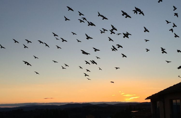 Coming home to roost. Flock Of Birds Flying Sunset Migrating Sky Evening Sky Large Group Of Animals Low Angle View Outdoors Flock Of Birds Sunset_captures Evening Light Activity Birds In Flight Nature Enjoying The View Shadows & Lights Silhouette Silouette & Sky