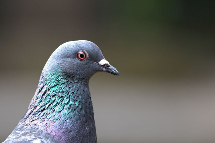 Close-up of pigeon