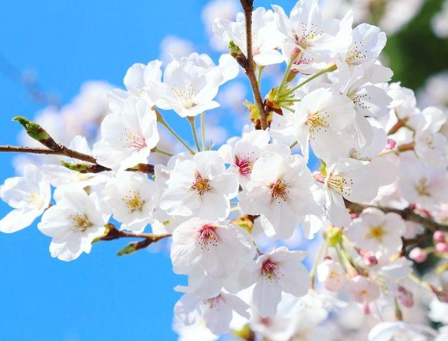 今日も花見✿@発心公園 5-8分咲き程度(◍˃̵͈̑ᴗ˂̵͈̑)b✧ Nature Growth Tree Beauty In Nature Blossom Beautiful Cherry Blossoms Day Blooming Outdoors No People Growth Nature Flower Tree Springtime Japanese  Beauty In Nature PLZ FOLLOW ME Japan
