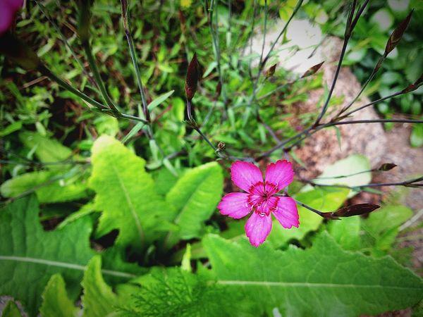 Lonely Beatiful Beatiful Nature In My Garden My Flower Obsession Flower Wild Flower