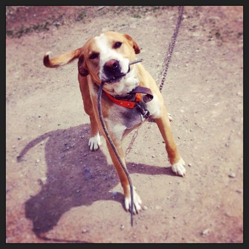 Oscar always carries thing in his mouth. Pitbull Goldenretriever Mixedbreed