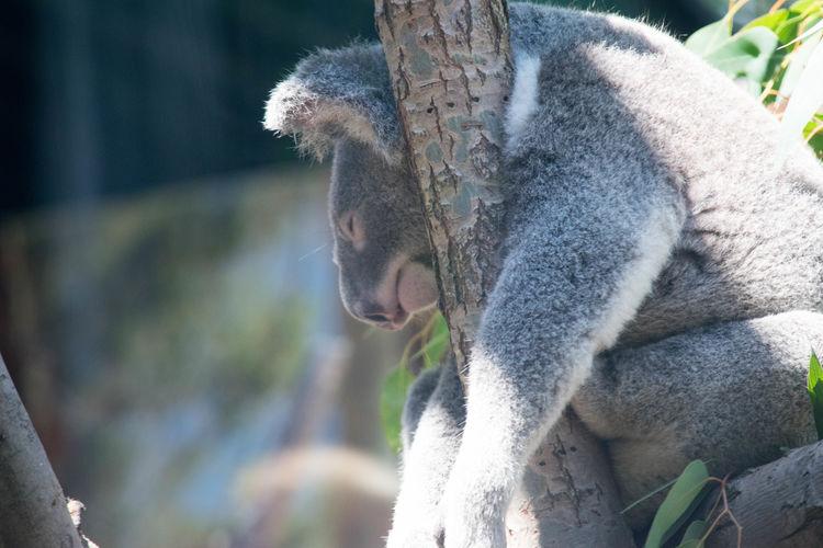Close-up of koala sleeping on tree