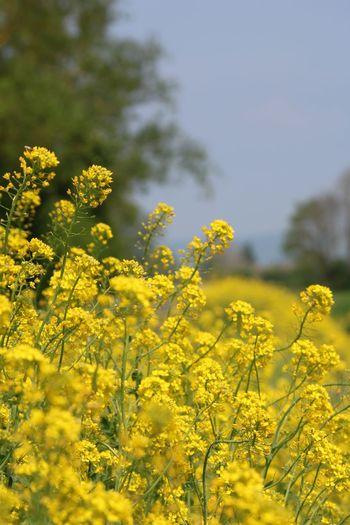 View of oilseed rape field in bloom