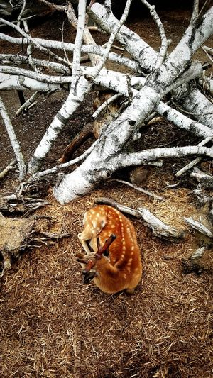 First Eyeem Photo Sikadeer Zoo White Brown Wood Janpan Hokkaido Asahikawa Traveling Animal