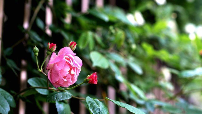 Roses Flowers Old Rose Cornelia Wind