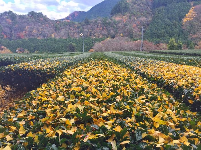 Autumn Autumn Colors Autumn Leaves Beauty In Nature Yellow いちょう 茶畑 Nature