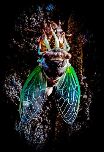 Cicada emerging from exoskeleton Cicada Emerging Exoskeleton Green Wings Insect Green Black Studio Shot Water