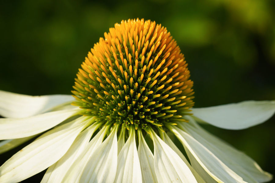 Coneflower White Swan (Echinacea purpurea), flowers of summer Gardening Beauty In Nature Bloom Blooming Blossom Botanic Close-up Coneflower Day Echinacea Echinacea Purpurea Flower Flower Head Focus On Foreground Fragility Freshness Garden Growth Nature No People Outdoors Petal Plant Pollen Summer