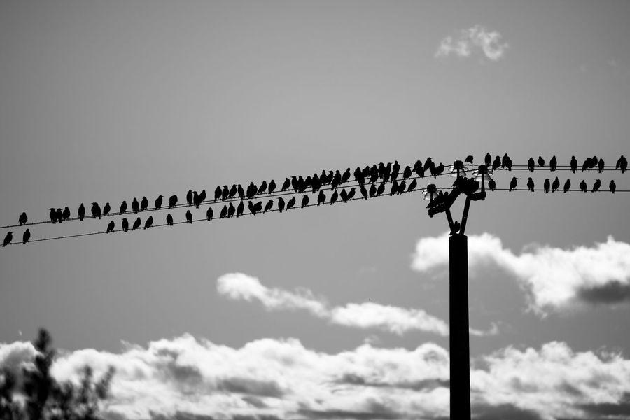 Animal Themes Bird Cloud - Sky Fitougraphie Flock Of Birds Large Group Of Animals Laurent Vankilsdonk Nature Sky Togetherness