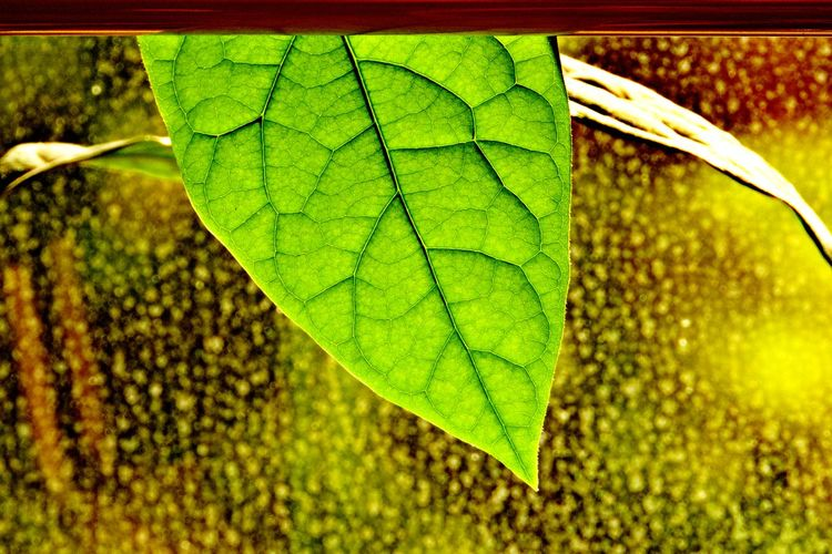 Plant Part Leaf Plant Green Color Close-up Nature No People Leaf Vein Outdoors Focus On Foreground Freshness Natural Pattern Leaves Day Backlit