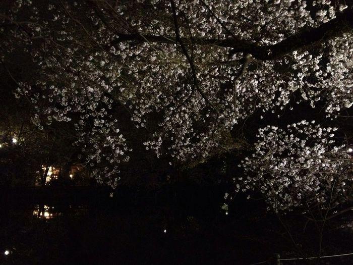 夜桜!レジャーシートしいてお花見。