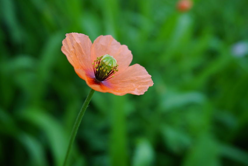 Wildflower Poppy Flowers Orange Flower Grassy Green Color Weed Petal Flower Flower Head Butterfly - Insect Leaf Close-up Animal Themes Plant Botanical Garden Blooming Stamen Poppy Botany In Bloom Pollen Single Flower