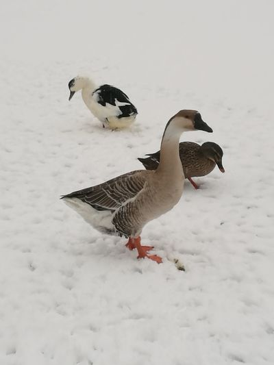Winter Snow Bird Cold Temperature Animal Wildlife Animals In The Wild Nature Animal Themes No People Snowing Outdoors Day Water Bird Ducks Nature Animals In The Wild Snow ❄ Beauty In Nature Close-up