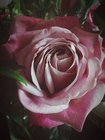Rose🌹 Flower Beautiful Nature IPhoneography Flower Collection Its A Beautiful World Lovely
