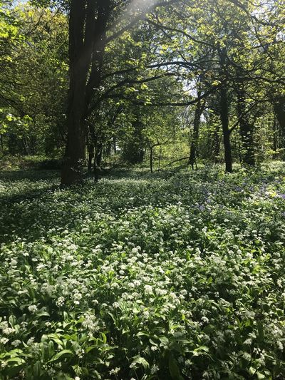 Wild Garlic Wild Garlic Green Color Plant Nature Sunlight Day Growth Tree Beauty In Nature Lush Foliage