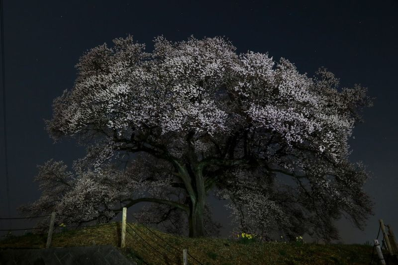 真夜中の桜 EyeEm Flower EyeEm Best Shots EyeEm Nature Lover Midnight Plant Tree Growth Night Nature No People Sky Beauty In Nature Low Angle View Branch Tranquil Scene